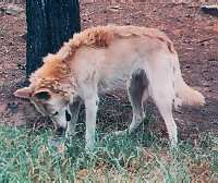 dingoes in australia